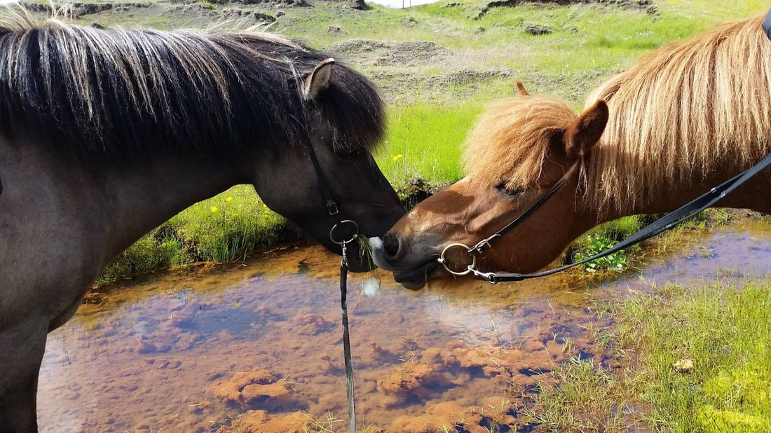 Two Icelandic horses on a riding tour in south Iceland.