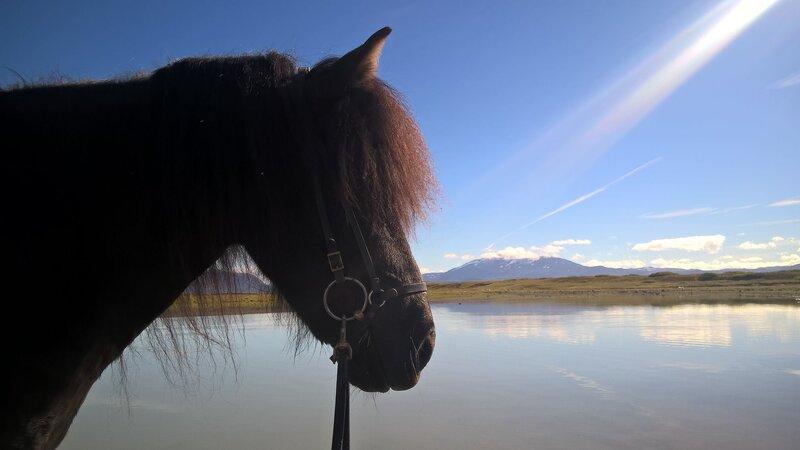 The Icelandic horse during a riding tour in Iceland