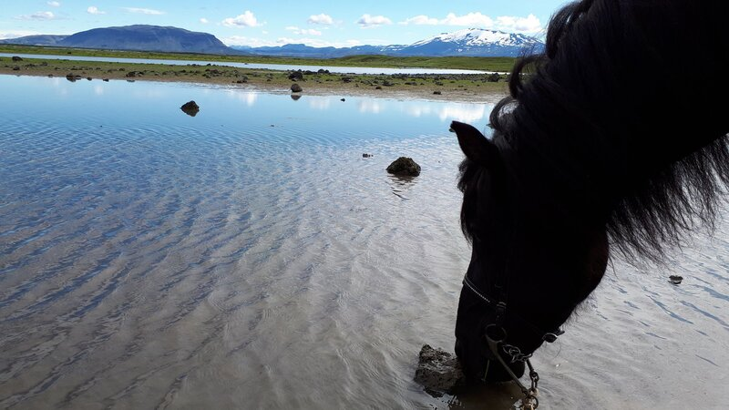 Icelandic horse drinking during a riding tour.